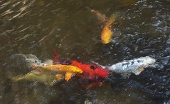 carp(0.0), fish(1.0), fish(1.0), fish pond(1.0), marine biology(1.0), koi(1.0), goldfish(1.0), pond(1.0),