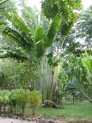 date palm(0.0), rainforest(0.0), flower(0.0), food(0.0), elaeis(0.0), jungle(0.0), plantation(0.0), arecales(1.0), borassus flabellifer(1.0), palm family(1.0), garden(1.0), tree(1.0), plant(1.0), produce(1.0), ensete(1.0),
