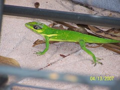 animal, amphibian, green lizard, reptile, lizard, fauna, lacerta, scaled reptile,