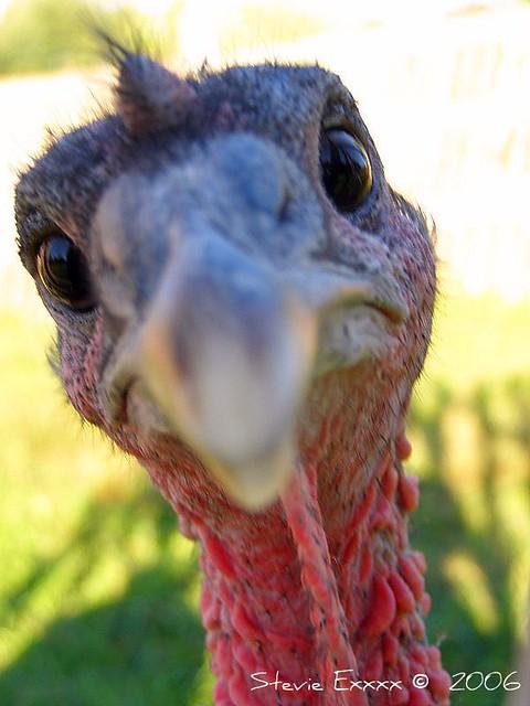 Turkey Curiousity