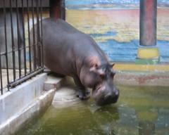 Wading Hippo