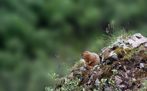 Hellooooo, Mr. Marmot