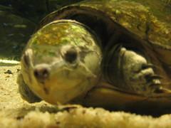 animal, turtle, yellow, reptile, organism, marine biology, macro photography, fauna, close-up, emydidae, wildlife, tortoise,