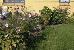 Sydøstvendt bed - Høstanemone i forgrunden