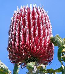 blossom(0.0), thistle(0.0), macro photography(0.0), produce(0.0), proteales(0.0), petal(0.0), flower(1.0), plant(1.0), nature(1.0), flora(1.0), protea(1.0),
