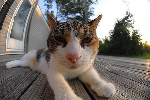 pet distortion cute cat sunrise dawn furry distorted fuzzy kitty tortoiseshell fisheye lazy kawaii calico donovan kunoichi fannon rekanize rockthediscontent