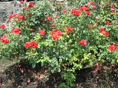 rosa rubiginosa(0.0), rosa rugosa(0.0), rosa wichuraiana(1.0), annual plant(1.0), shrub(1.0), garden roses(1.0), floribunda(1.0), flower(1.0), plant(1.0),