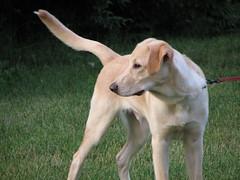 animal sports(0.0), hound(0.0), harrier(0.0), sighthound(0.0), american foxhound(0.0), sports(0.0), lurcher(0.0), ibizan hound(0.0), greyhound(0.0), dog sports(1.0), dog breed(1.0), animal(1.0), dog(1.0), polish greyhound(1.0), galgo espaã±ol(1.0), saluki(1.0), sloughi(1.0), pet(1.0), mammal(1.0),