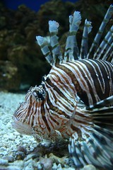 animal(1.0), coral(1.0), fish(1.0), marine biology(1.0), fauna(1.0), close-up(1.0), lionfish(1.0), scorpionfish(1.0), underwater(1.0), reef(1.0), aquarium(1.0),