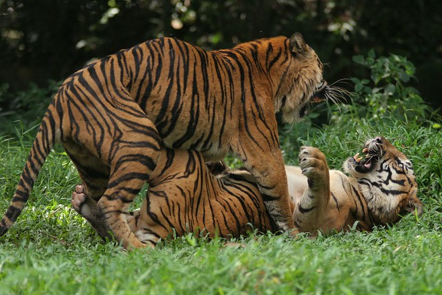 tigers playing | Flickr - Photo Sharing!