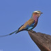 Lilac-breasted Roller on animal scratching post