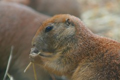 animal, squirrel, rodent, prairie dog, fauna, close-up, marmot, whiskers, wildlife,