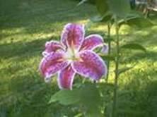 Oriental Lily1