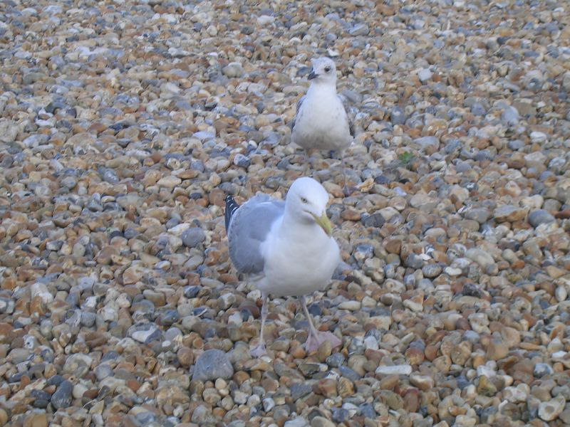 Chip hawks eyeing their prey Eastbourne beach Seaford to Eastbourne