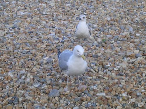 Chip hawks eyeing their prey