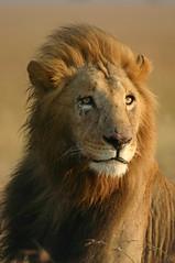 Kicheche Lion