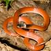 Amazon Egg-Eating Snake