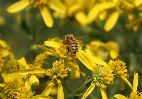 Honeybee on wingstem, Verbesina alternifolia