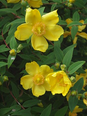 jasmine(0.0), large-flowered evening primrose (0.0), rose of sharon(0.0), shrub(1.0), flower(1.0), yellow(1.0), plant(1.0), wildflower(1.0), flora(1.0), hypericum(1.0),
