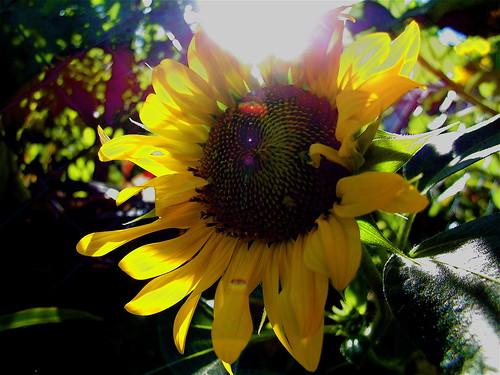 flowers sun garden geotagged dof bokeh sunflower flare opening urbangarden sunflare geo:lat=38226955 geo:lon=85737305