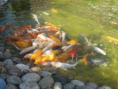 carp(1.0), fish(1.0), fish(1.0), fish pond(1.0), marine biology(1.0), koi(1.0), goldfish(1.0),
