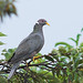 Band-tailed Pigeon - Photo (c) Doug Greenberg, some rights reserved (CC BY-NC-ND)