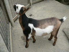 A goat at Portland zoo