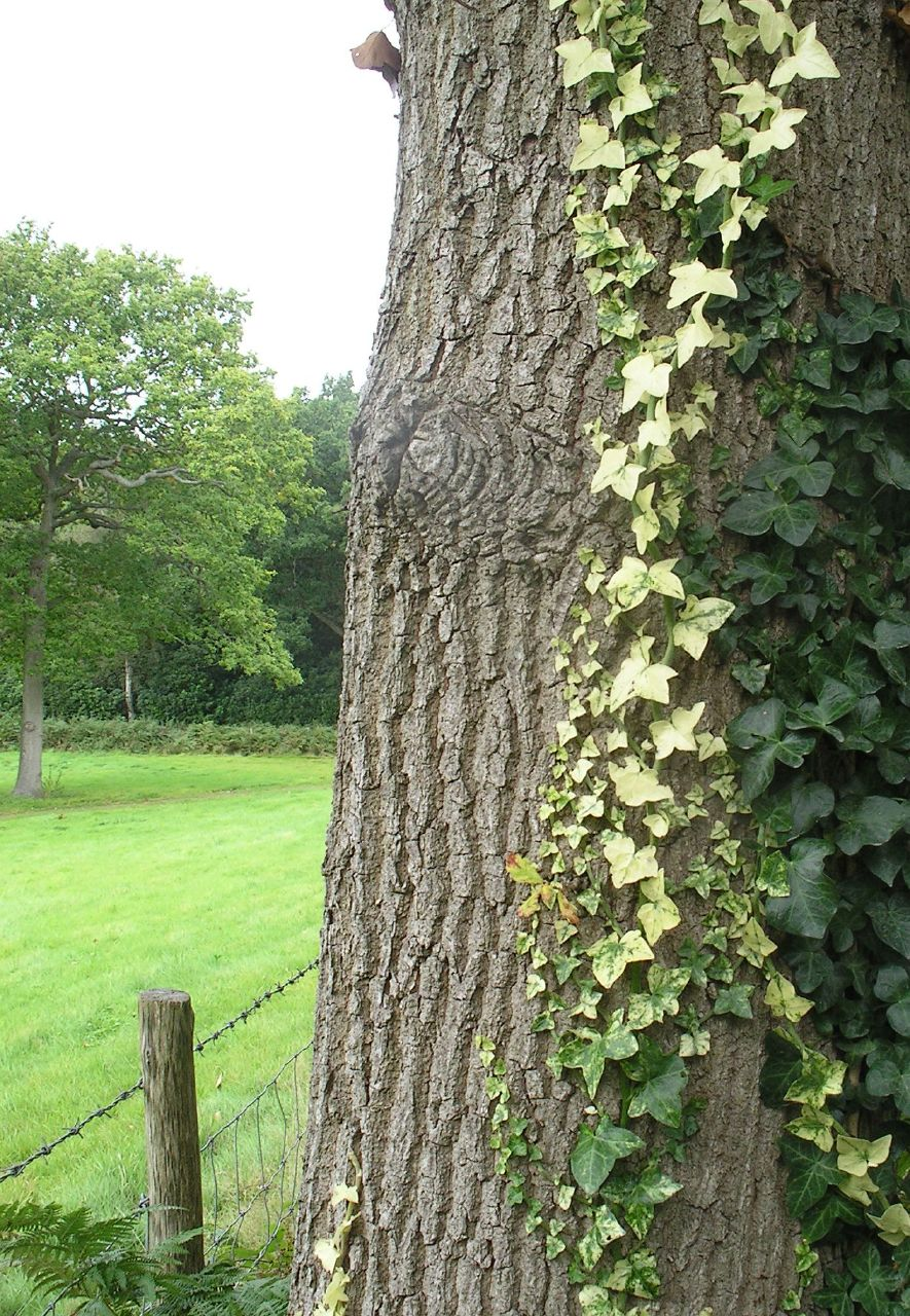 Book 3, Walk 30, Battle Circular Oak and ivy, 22 Sept '07