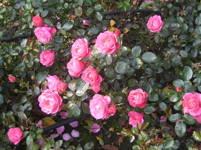 """Rose """"Bella Rosa""""   Flickr - Photo Sharing!"""