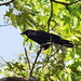 Fish Crow - Photo (c) Tom Wicker, some rights reserved (CC BY-NC-ND)
