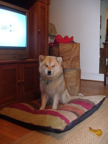 Lizzie the Chow Chow Alaskan Husky German Shepherd Mastiff Mix | Mix