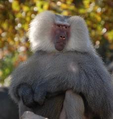 western gorilla(0.0), japanese macaque(0.0), ape(0.0), animal(1.0), baboon(1.0), monkey(1.0), mammal(1.0), fauna(1.0), old world monkey(1.0), new world monkey(1.0), macaque(1.0), wildlife(1.0),