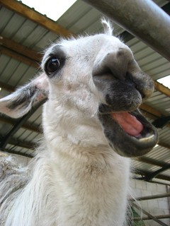 Best Llama picture ever