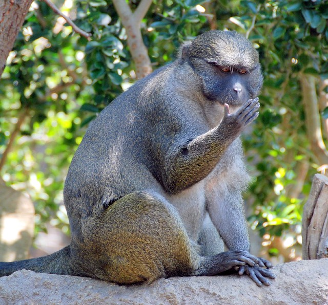 primate observation san diego zoo Primate observation – san diego zoo essay sample primates are one of the most interesting mammals on earth, not only because of their complex social structures, but because they hold so many similar characteristics to humans.