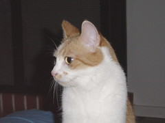 khao manee(0.0), burmilla(0.0), singapura(0.0), nose(1.0), animal(1.0), small to medium-sized cats(1.0), pet(1.0), european shorthair(1.0), snowshoe(1.0), cat(1.0), carnivoran(1.0), whiskers(1.0), manx(1.0), domestic short-haired cat(1.0),