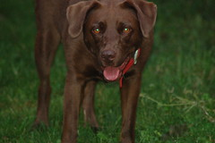 chesapeake bay retriever(0.0), dog breed(1.0), labrador retriever(1.0), animal(1.0), dog(1.0), pet(1.0), patterdale terrier(1.0), carnivoran(1.0),