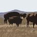 buffalo cutout by Jynna28