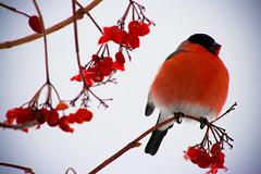 animal, flower, branch, red, macro photography, flora, fauna, cardinal, bird,