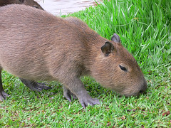 whiskers(0.0), animal(1.0), rodent(1.0), fauna(1.0), capybara(1.0), wildlife(1.0),