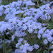 Small photo of Ageratum houstonianum