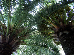 borassus flabellifer(0.0), rainforest(0.0), flower(0.0), garden(0.0), produce(0.0), food(0.0), saw palmetto(0.0), jungle(0.0), date palm(1.0), arecales(1.0), coconut(1.0), tree(1.0), flora(1.0), elaeis(1.0),