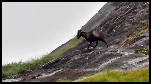 Nilgiri Tahr @ Eravikulam National Park