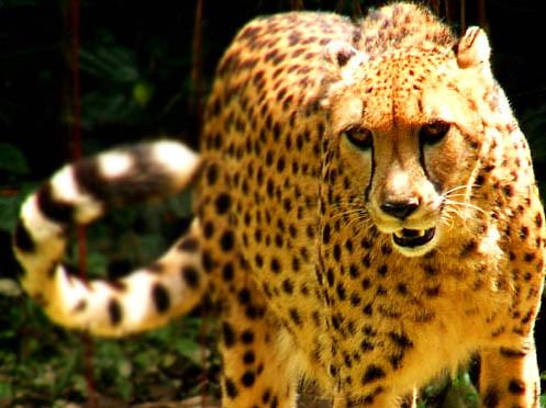 Cheetah Facebook Climbing Shoe Repair
