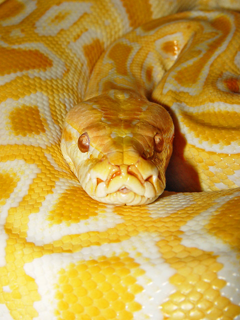 Burmese python 4 | Flickr - Photo Sharing!