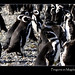 Chile-magellanic-penguins-group-magdalena-island