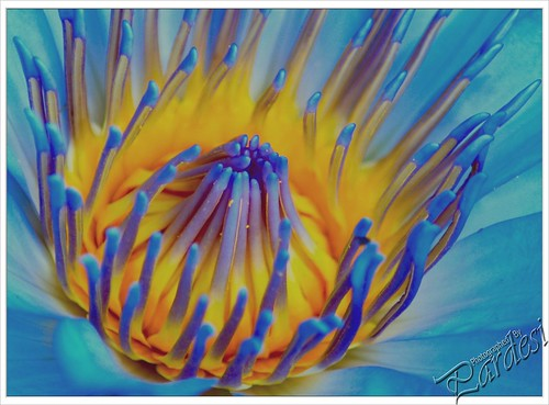 Extreme Closeup ~ Water Lily