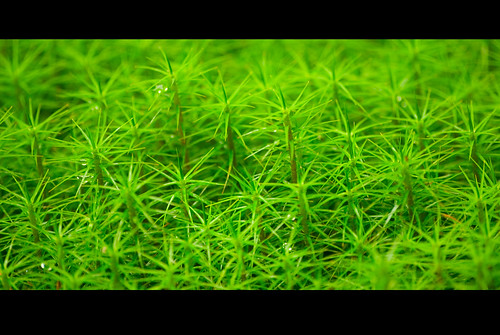 Close (Polytrichum commune)