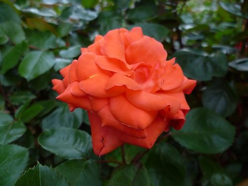 Wien, 1. Bezirk, Volksgarten in Springtime (garden of roses)