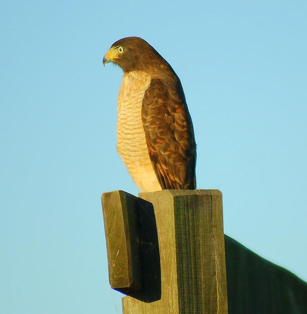 Imagen de una de las aves del Quindio: Gavilan Caminero (Buteo Magnirostris)