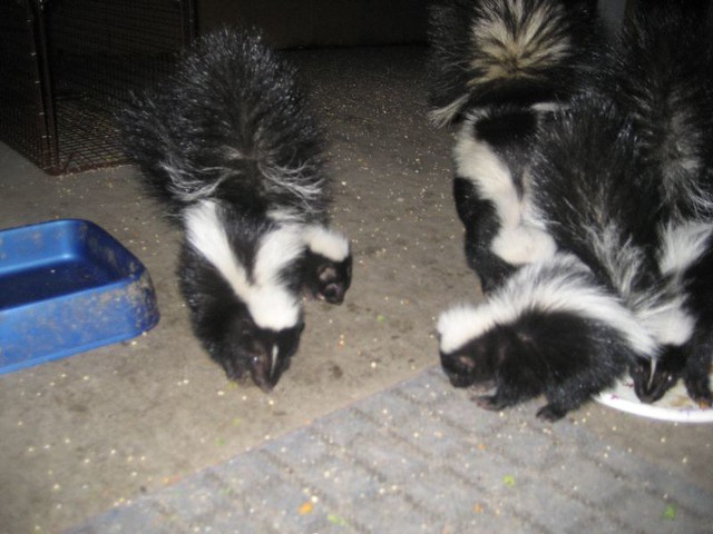 The Skunk family   Flickr - Photo Sharing!